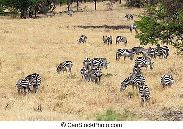 Zebra (Equus burchellii) - Zebras (Equus burchellii) in the...