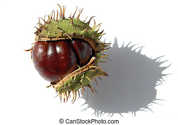 Chestnut -  Chestnut a white background
