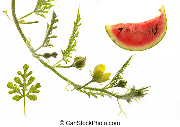 Water-melon n a white background