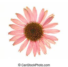 Echinacea purpurea; - Echinacea purpurea leaf on a white...
