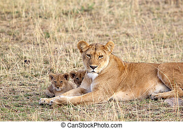 African lioness (Panthera leo) and cubs - African lioness...
