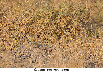 Blue waxbill camouflage over the ground