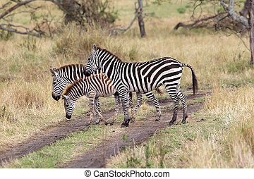 Zebra Equus burchellii - Zebras Equus burchellii in the...