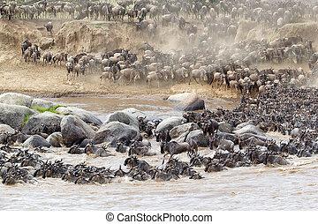 Wildebeest (Connochaetes taurinus) migration at the Mara...