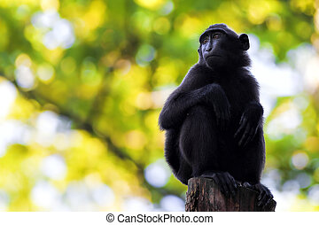 Sulawesi Crested Macaque sitting on a branch