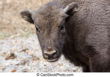 Portrait of a young European bison or Wisent Bison bonasus...