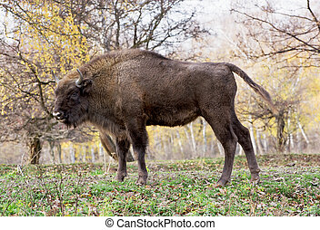 Side view of a big European bison Bison bonasus - Side view...