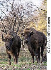 Group of wild European bison or Wisent Bison bonasus in...