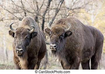 Two wild European bison or Wisent Bison bonasus in autumn...