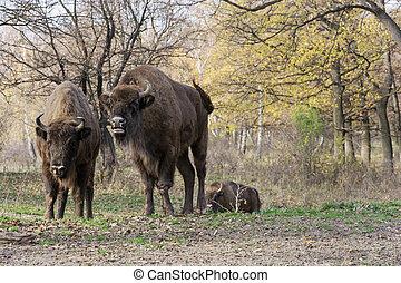 Wild European bison or Wisent Bison bonasus living in autumn...