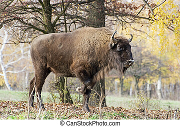 Big European bison Bison bonasus in the forest - Side view...