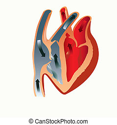 anatomy of the heart - grant to study the anatomy of the...