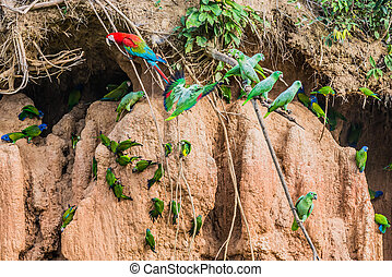 macaws and parrots in clay lick in the peruvian Amazon...