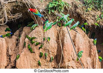 macaws, papagaios, argila, lamber, Peruano, amazon, selva
