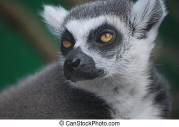 Ring-Tailed Lemur - Ring Tailed Lemur closeup