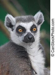 Ring-Tailed Lemur - Ring Tailed Lemur face