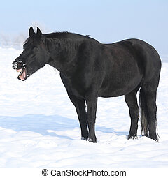 Gorgeous friesian horse yawning while its standing in...
