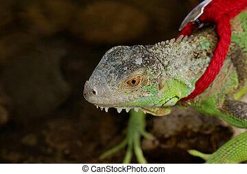 green iguana on a leash - green iguana on a red leash