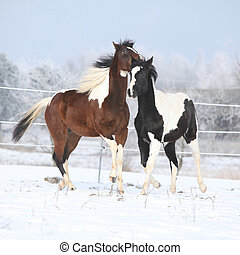 Two paint horses playing in winter - Two paint horses...