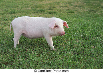 small pig - Small pig standing in a green grass