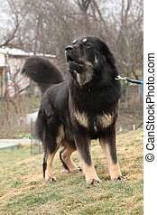 Amazing Tibetan mastiff patrolling in the garden - Amazing...