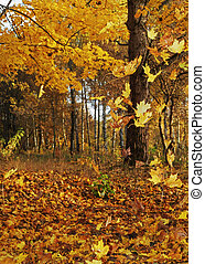 Autumn forest - Yellow autumn leaves fall from trees on the...