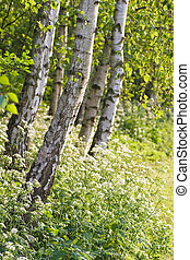 Birch trees and Cow Parsley - Evening light in april with...