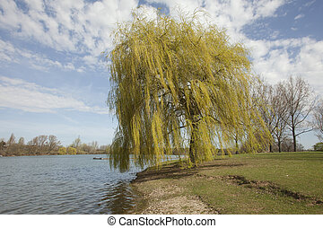 See - Weeping Willow in the spring on a lake