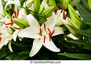 Beautiful white lily flowers