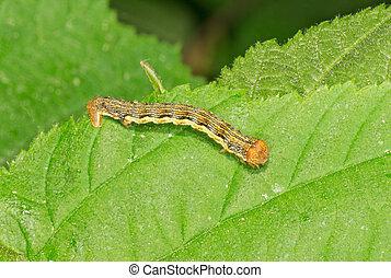 Geometer moth larva - Geometer moth Geometridae sp larva on...