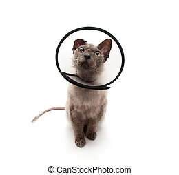 Cat in elizabethan collar looking up - Cat in elizabethan...