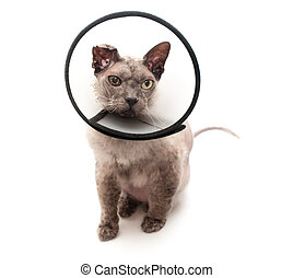Cat in elizabethan collar on white background
