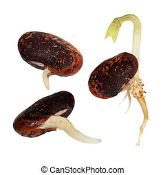 macro germinating bean isolated