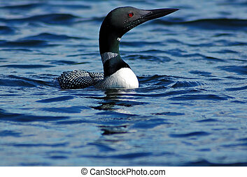 Common loon in blue water of north lake