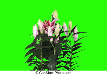 4KBlooming pink lily flower buds green screen, FULL HD...
