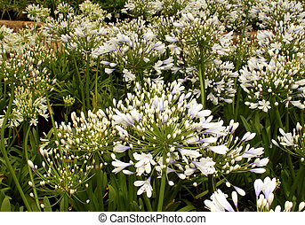 Flora Blue Ice Agapanthus - Flora Unique Light Blue Colored...