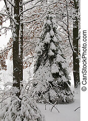 Winter Pine - A pine tree and surrounding woods show the...