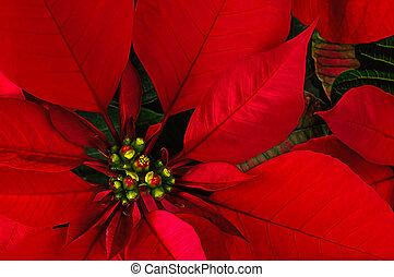 Poinsettia flower - Red poinsettia flower horizontal...