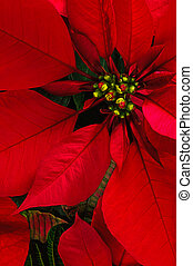 Poinsettia flower - Red poinsettia flower vertical...