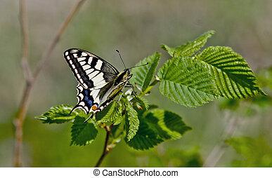 Swallowtail butterfly on a leaf of hazel.