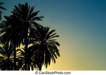 Palm tree - Iraqi palm tree