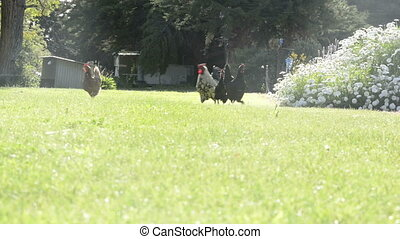 Chickens On Farm - Chickens and rooster roam freely around...