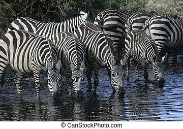 Plains zebra, Equus quaggai, group mammals at water,...
