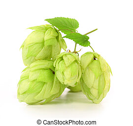 Close up of hop flowers. Isolated on a white background