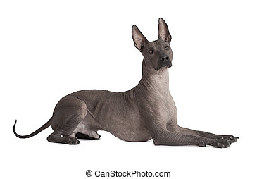 Mexican xoloitzcuintle dog - One and half years old Mexican...
