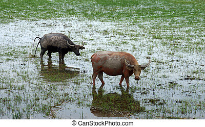 water buffalo eating grass in a wildlife conservation.