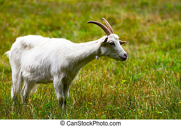 Goat on a green meadow - She-goat on a green meadow