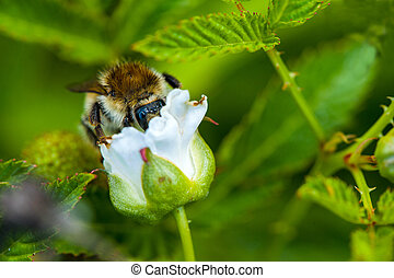 bumblebee on a flower of raspberry
