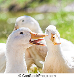 Laughing White Duck - A portrait of a white duck with its...
