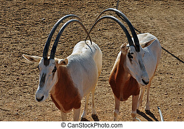 two scimitar horned oryx antelopes - Two scimitar horned...